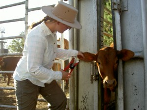 Farmarbeit Australien - Veal