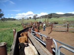 Farmarbeit Australien - Arbeiten mit Cattle